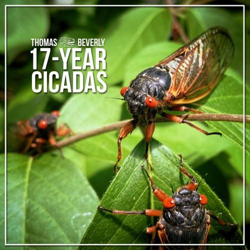 SD29 17-Year Cicadas | SFX Library Demo