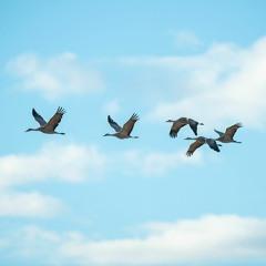 Panhandle Afield: Fall Sandhill Crane Migration