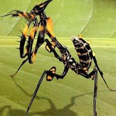 Devil Flower Mantis (2)