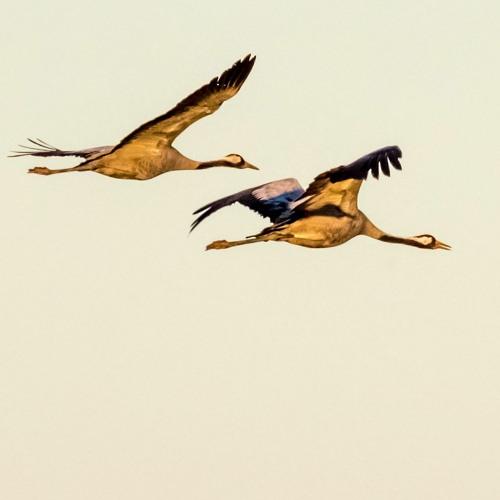 Common Cranes - Lac Du Der, Champagne-Ardenne, France