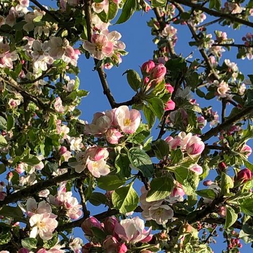 Apple Blossom 24 April 2020
