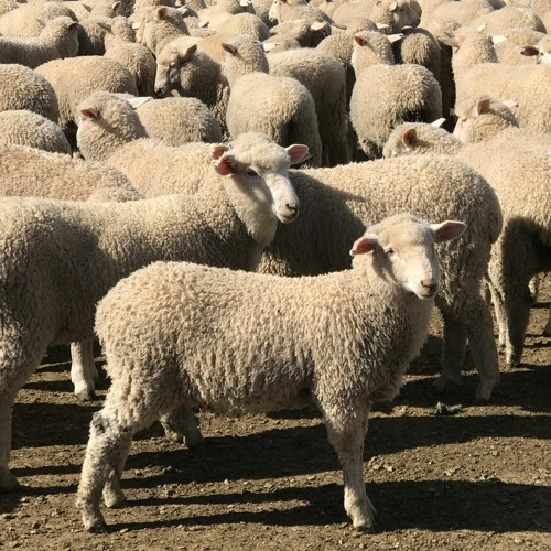 Farmers getting greater cut of lamb price
