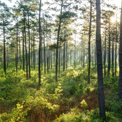 'Voices of a Flyway' Soundscapes: Dawn in the Piney Woods