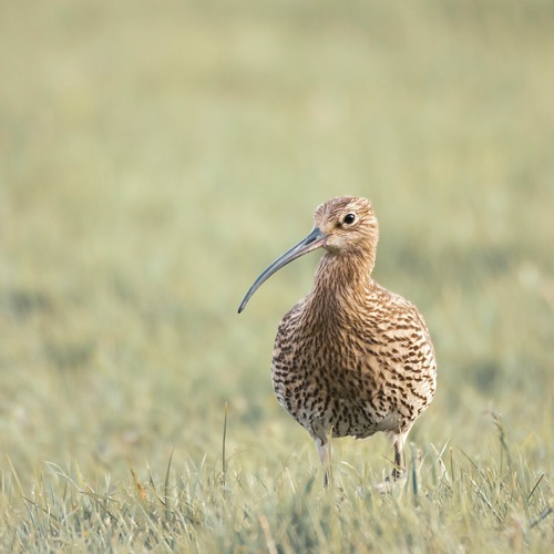 Ian Newton - Curlews in the 21st Century