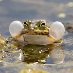 Edible Frog, Rana esculenta. Ätlig Groda. Raw File