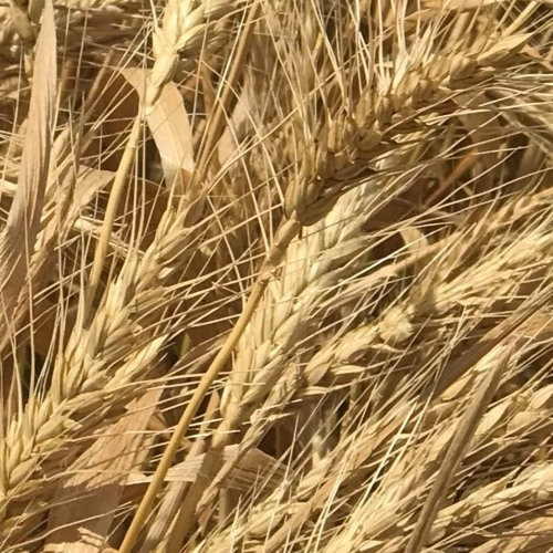 What if China bans our wheat?