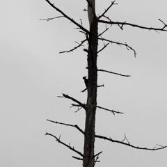 Black Woodpecker - 25/2/2020 - Kuuminainen Woods
