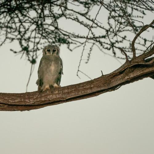 Owl Calling In The Savanna