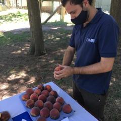 Fruticultura: hoy se presenta el nuevo duraznero INIA Santa Lucía