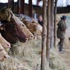 Soundbite : Moving Cattle