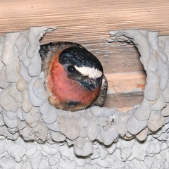 Cliff Swallow Nest Chatter and Song