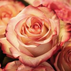 Rosa (solo piano)