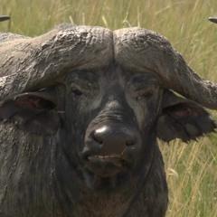 HÆDIS - Wildebeest