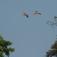 Phonography : Scarlet Macaws at Playa Blanca, Costa Rica (8.6425,-83.4341667)