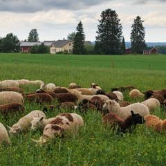 Iso-Mikkasen lammastila