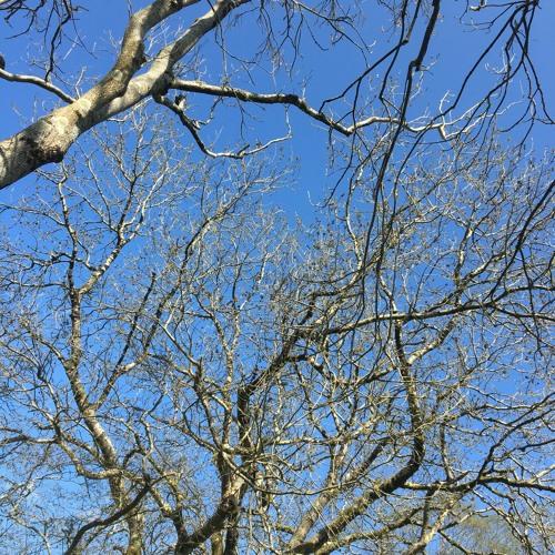Ash Trees 13 April 2020