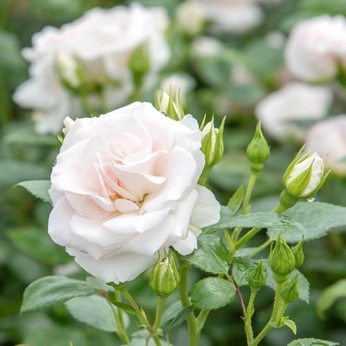 007 Aspirin Rose