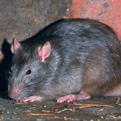 Himalayan Sewer Rat