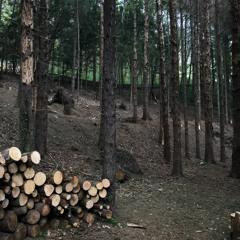 Rain Under a Small Grove of Coniferous Trees