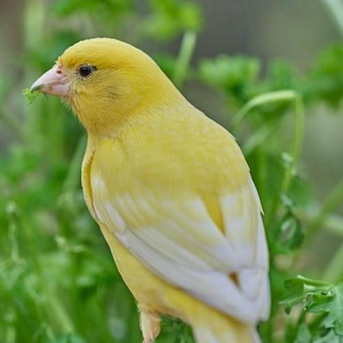 Canary Bird اقوى تغريد كناري للتسميع و تهييج الاناث للتزاوج صوت رقم 9 By Canary Sound صوت الكناري