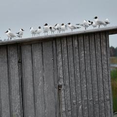 Black-headed Gulls - 2/7/2021  - of Makholma Shore