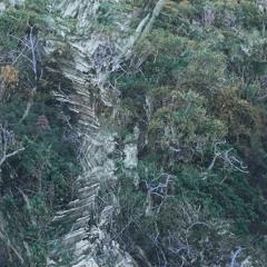 Birches - Divjina III-IV