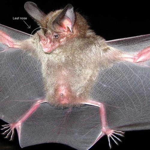 Leaf-nosed bats - ultrasound