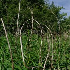 Blyth's Reed Warbler's habitat in the late morning. Alam-Pedja nature reserve, Estonia June 5, 2021