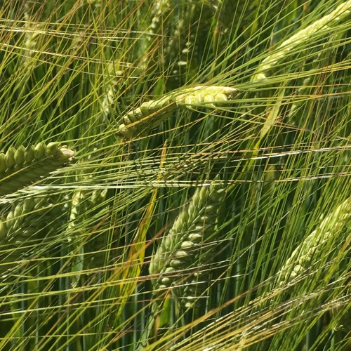 Farmers need to find new barley market