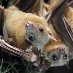 Listen to the social chatter of Egyptian fruit bats