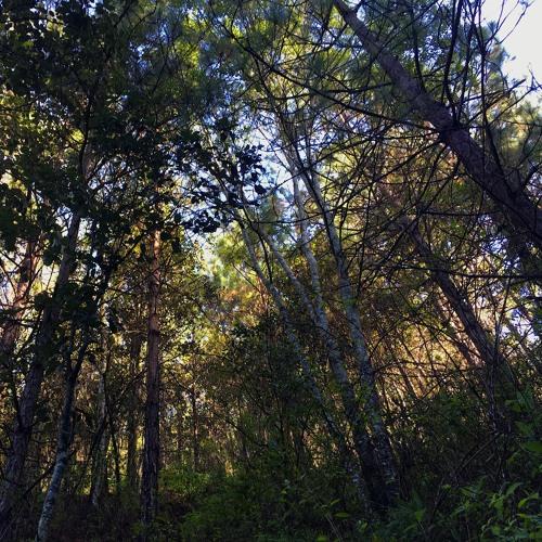Insectos y viento en bosque / San José del Pacífico