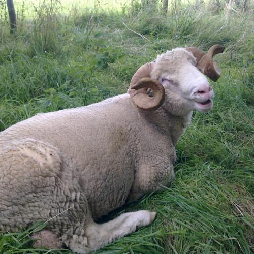smiling sheep's avatar