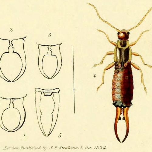 forficula auricularia's avatar