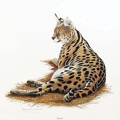 Cerval's avatar