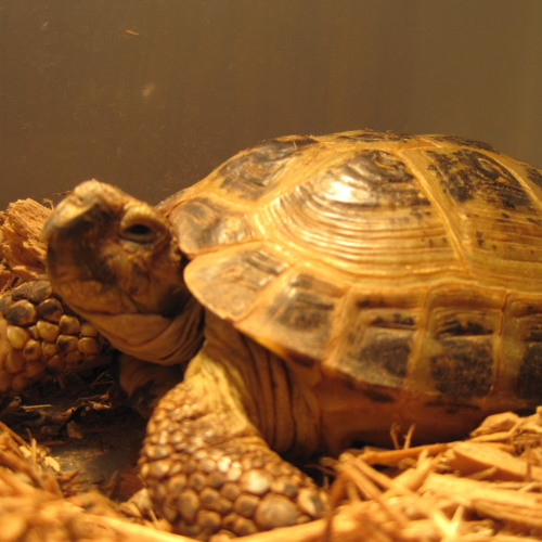 Russian Tortoise's avatar