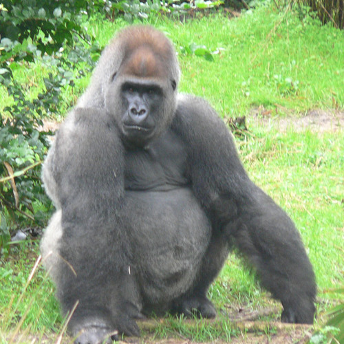 Almighty Silverback's avatar