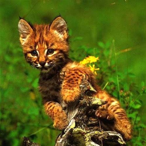 Felix the Lynx's avatar