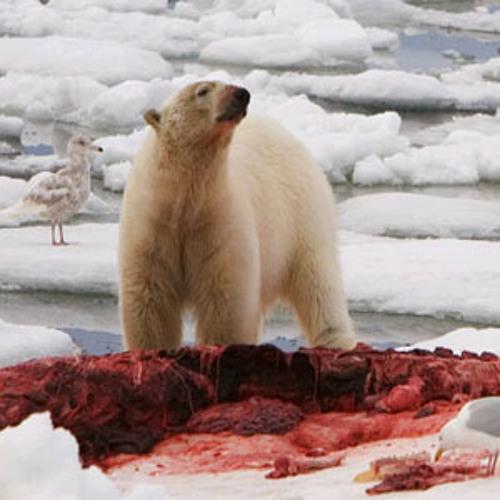что есть белый медведь видео