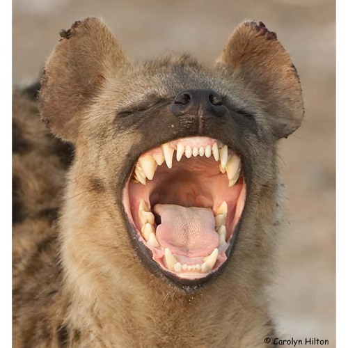 Hyena's avatar
