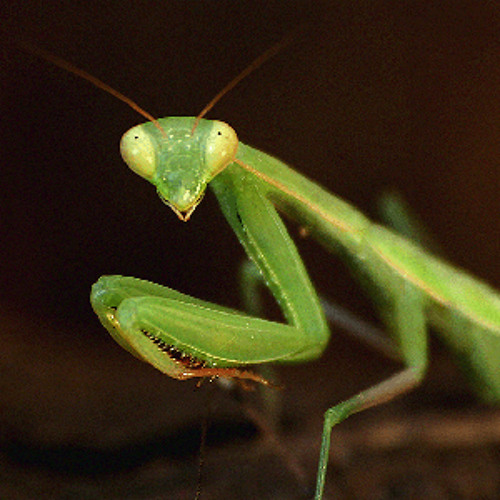 Mantis Style (unmastered)