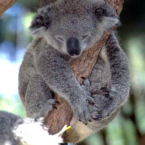 Scrappy Koala's avatar