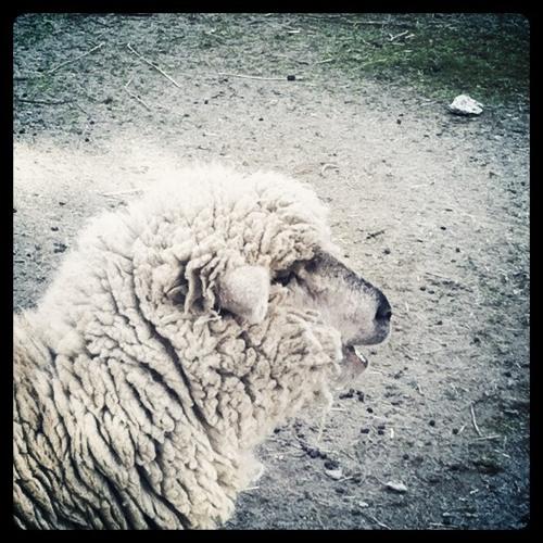 the cardigan sheeps's avatar