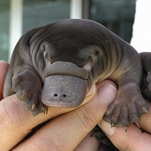 Perfidious Platypus's avatar