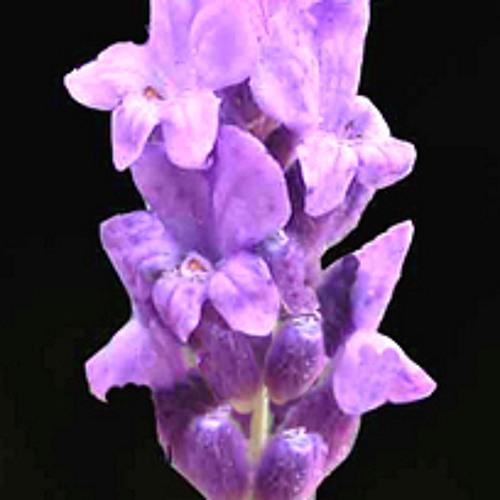 Lavender Smell's avatar