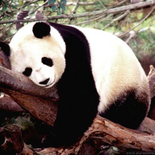 panda happy good day's avatar