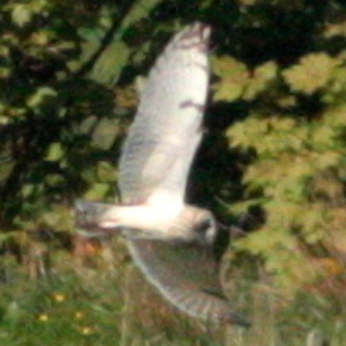 Guisborough Woods - Curlew