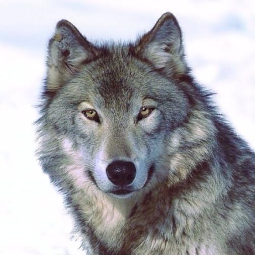 snowwolf12's avatar