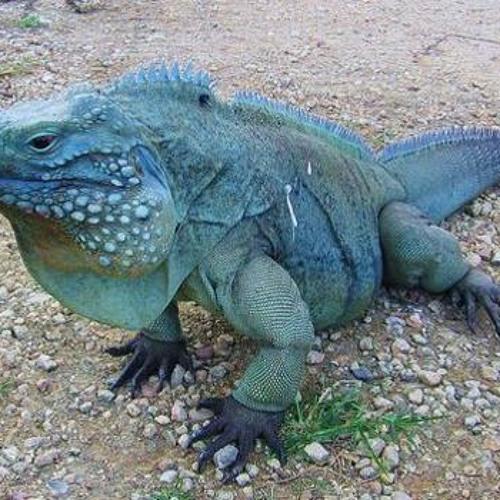 Blue Iguana's avatar