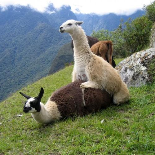 Llama Attack's avatar