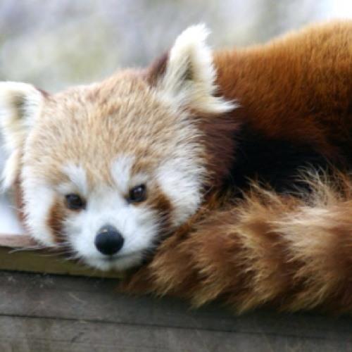 Le-Panda-Rouge's avatar